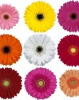 Mini_Gerbera_Daisy_Mixed_Colors_Flower_350