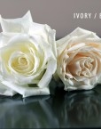 WHITE - IVORY ROSE copy