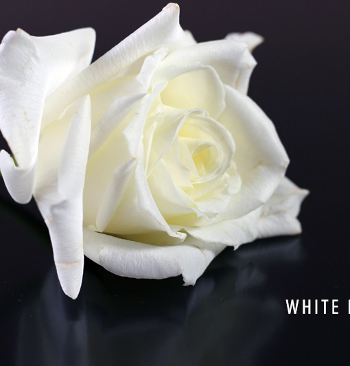 WHITE ROSE copy