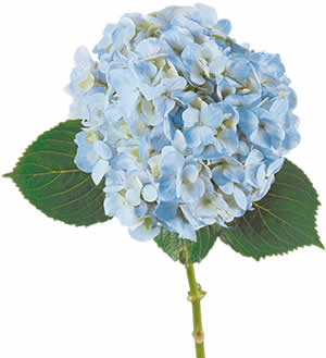 light blue hydrangea